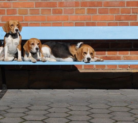 Die Beaglefamily