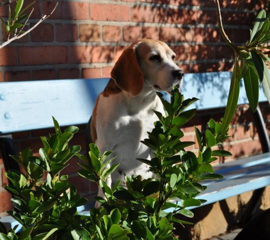 Der Beagle